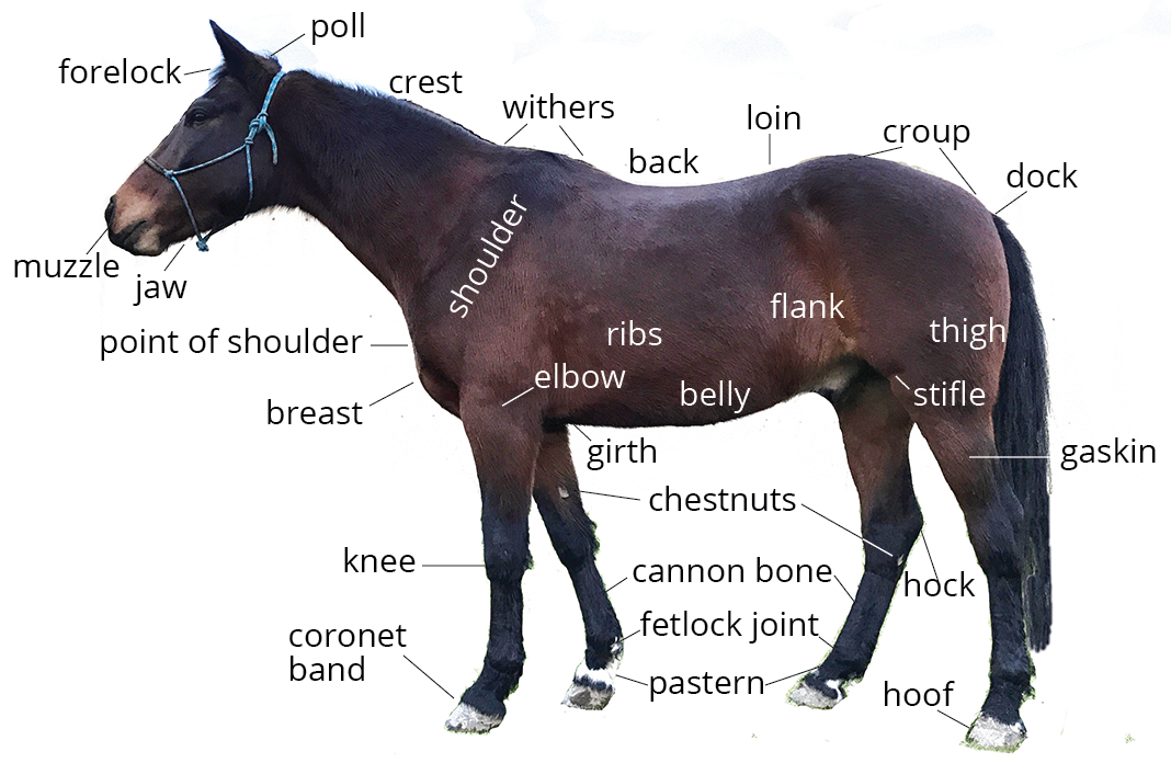 Horse Anatomy 101 | Learn About A Horse\'s Body Parts | Pony Dreams