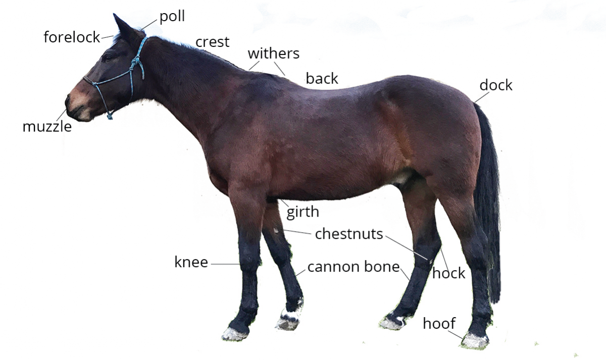 Horse Anatomy Quiz | Level 2 ~ Student | Pony Dreams