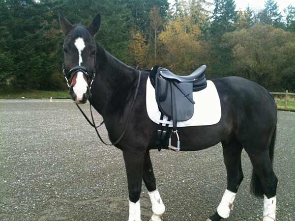 Augie with a dressage saddle